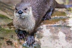 Europejska wydra w naturze Zdjęcie Royalty Free