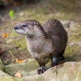 Europejska wydra w naturze Obraz Royalty Free