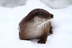 Europejska wydra w śniegu Zdjęcia Stock