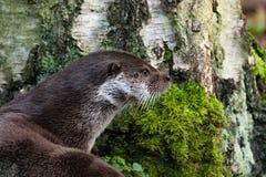 Europejska wydra w tle drzewo Obrazy Royalty Free