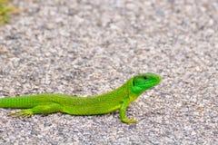 europejska zielona jaszczurka Zdjęcie Stock