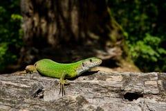 europejska zielona jaszczurka Zdjęcia Royalty Free