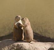 Europejska zmielona wiewiórka, spermophilus, souslik Obrazy Royalty Free