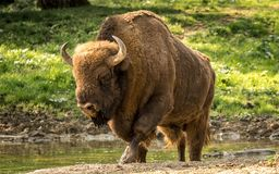 Europejski żubr, także znać jako wisent lub Europejski drewniany żubr Zdjęcie Stock