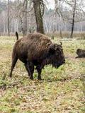 Europejski żubra żubra bonasus, duża auroch pozycja w lesie obrazy royalty free