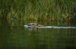 Europejski bóbr, Rycynowy włókno, pływa w rzece obrazy stock