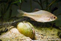 Europejski bitterling, Rhodeus amarus, piękna ornamentacyjna dorosłej samiec ryba w tarłowym barwieniu pływa blisko bivalve m obraz royalty free