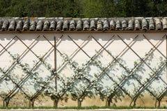 Europejski bonkrety drzewo, Pyrus communis Zdjęcie Stock