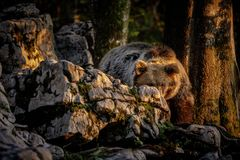 Europejski brown niedźwiedź chuje za skałą Obrazy Royalty Free