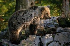 Europejski brown niedźwiedź, Ursus arctos arctos Obrazy Royalty Free