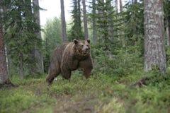 Europejski brown niedźwiedź, Ursus arctos arctos Obrazy Stock