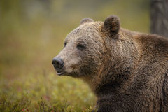 Europejski brown niedźwiedź w jesień lesie Zdjęcie Stock