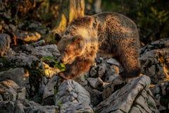 Europejski brown niedźwiedź w złotym godziny świetle Zdjęcia Stock