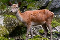 Europejski Czerwony rogacz (Cervus Elaphus) Zdjęcia Royalty Free