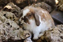 Europejski Domowy królik zdjęcia stock