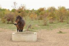 Europejski Dziki koń, Milovice, Czechia zdjęcie royalty free