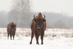 Europejski dziki żubr Zdjęcia Royalty Free