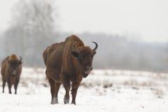 Europejski dziki żubr Zdjęcie Stock