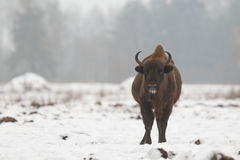 Europejski dziki żubr Obraz Royalty Free