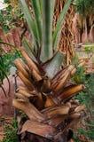 Europejski fan drzewko palmowe Obraz Royalty Free