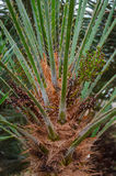 Europejski fan drzewko palmowe Zdjęcie Royalty Free