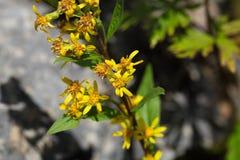 Europejski goldenrod & x28; Solidago virgaurea ssp minuta& x29; Obraz Stock