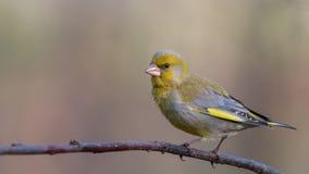 europejski greenfinch Żółty ptaka śpiewającego obsiadanie na gałąź zdjęcia royalty free