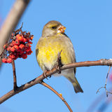 Europejski greenfinch (Carduelis chloris) Fotografia Royalty Free