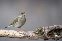 Europejski greenfinch, Chloris chloris, siedzi na fiszorku femaleness zdjęcie stock