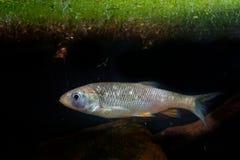 Europejski klenia Squalius cephalus w wodzie pod zielonymi roślinami wodnymi Brown ryba w wodzie fotografia stock