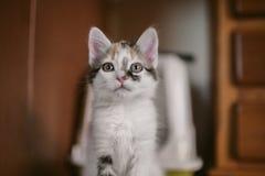 Europejski kota portret kota piękny portret Śliczny trzy kolorów kot Europejczyka krótki z włosami kot Portret tricolor figlarka Obraz Stock