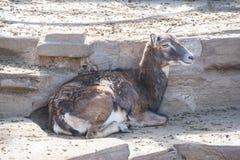 Europejski muflon odpoczywa cicho, Ovis Musimon Obraz Royalty Free