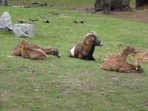 Europejski muflonu Ovis orientalis musimon Zdjęcia Royalty Free