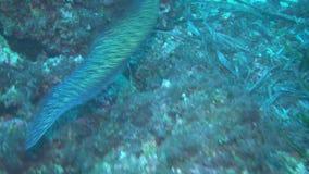 Europejski murena węgorz Muraena Helena unosi się nad dnem Mediterranien morze zbiory wideo