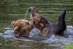 Europejski niedźwiedź brunatny, ursus arctos w parku obrazy royalty free