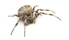 Europejski ogrodowy pająk fotografia royalty free