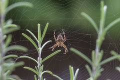 Europejski ogrodowy pająk Obrazy Stock