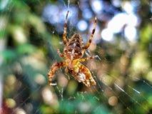 Europejski Ogrodowy pająk - Araneus diadematus zdjęcie royalty free