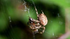 Europejski Ogrodowy pająk, diademu pająk, Przecinający pająk, Koronowany okręgu tkacz, Araneus diadematus zbiory