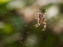 europejski ogrodowy pająk Fotografia Stock