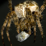 europejski ogrodowy pająk Obrazy Royalty Free