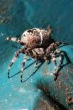 Europejski ogrodowy pająk Zdjęcia Royalty Free