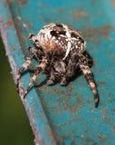 Europejski ogrodowy pająk Zdjęcia Stock