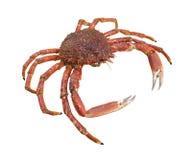 Europejski pająka krab zdjęcie stock