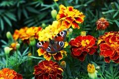 Europejski pawi Aglais io motyl na Tagetes kwiacie Zdjęcie Royalty Free