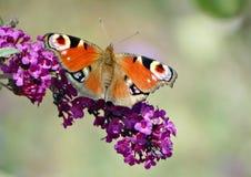 Europejski pawi motyl Zdjęcia Royalty Free