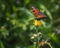 Europejski pawi motyl Fotografia Stock