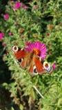 Europejski pawi motyl Obrazy Royalty Free