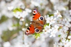 Europejski Pawi motyl & x28; Aglais io& x29; , na kwiatonośnej gałąź Prunus spinosa & x28; tarnina lub sloe& x29; Fotografia Royalty Free