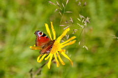 Europejski Pawi motyl na żółtym Arnikowym kwiacie Zdjęcia Royalty Free